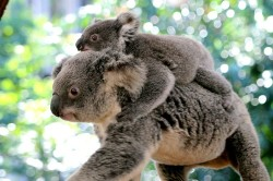 misie koala australia panorama